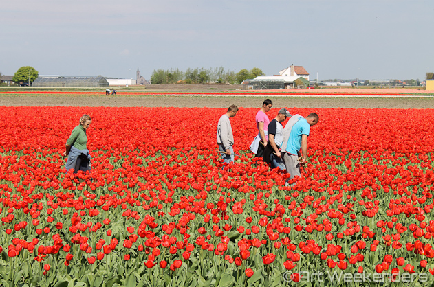 The-Netherlands-Lisse-Tulip-Fields-Working-People