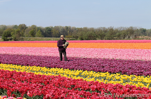 The-Netherlands-Lisse-Tulip-Fields-Working-Man